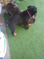 Rottweiler Puppies for sale in Brentwood, NY, USA. price: NA