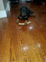 Rottweiler Puppies for sale in Hoboken, NJ, USA. price: NA