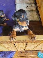 Rottweiler Puppies for sale in Graham, NC, USA. price: NA