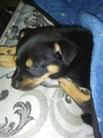 Rottweiler Puppies for sale in Shelby, NC 28150, USA. price: NA