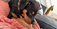Rottweiler Puppies for sale in 2812 E Princess Anne Rd, Norfolk, VA 23504, USA. price: NA
