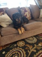 Rottweiler Puppies for sale in Greenville, NC, USA. price: NA