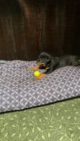 Rottweiler Puppies for sale in Tallmadge, OH, USA. price: NA
