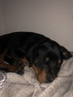 Rottweiler Puppies for sale in Anaheim, CA, USA. price: NA