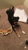 Rottweiler Puppies for sale in Des Moines, IA, USA. price: NA
