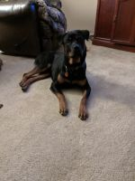 Rottweiler Puppies for sale in Burnet, TX 78611, USA. price: NA