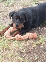 Rottweiler Puppies for sale in San Antonio, TX 78201, USA. price: NA