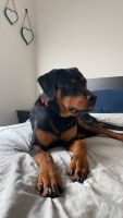 Rottweiler Puppies for sale in Spring Valley, CA, USA. price: NA