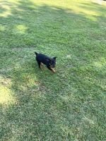 Rottweiler Puppies for sale in Hampton, VA 23664, USA. price: NA