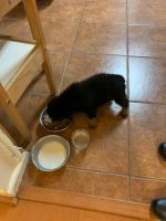Rottweiler Puppies for sale in Cleburne, TX, USA. price: NA
