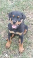 Rottweiler Puppies for sale in 9761 Huber Oval, Niles, IL 60714, USA. price: NA