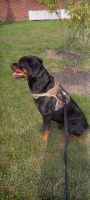 Rottweiler Puppies for sale in Columbus, OH 43228, USA. price: NA