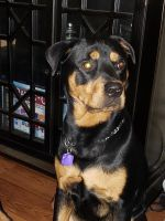 Rottweiler Puppies for sale in Mesquite, TX 75150, USA. price: NA