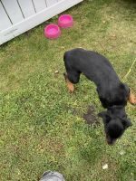 Rottweiler Puppies for sale in Lansing, IL 60438, USA. price: NA