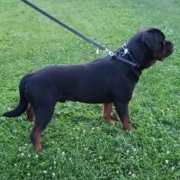 Rottweiler Puppies for sale in Canton, OH, USA. price: NA