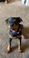 Rottweiler Puppies for sale in Lindenwold, NJ, USA. price: NA