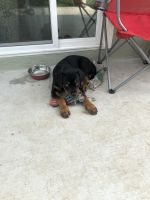 Rottweiler Puppies for sale in Woodland Hills, Los Angeles, CA, USA. price: NA