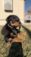 Rottweiler Puppies for sale in Longmont, CO, USA. price: NA