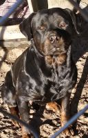 Rottweiler Puppies for sale in Moncks Corner, SC 29461, USA. price: NA