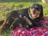 Rottweiler Puppies for sale in Bardstown, KY 40004, USA. price: NA