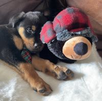 Rottweiler Puppies for sale in 16117 Lake Iola Rd, Dade City, FL 33523, USA. price: NA