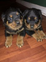 Rottweiler Puppies for sale in Rockingham, NC 28379, USA. price: NA