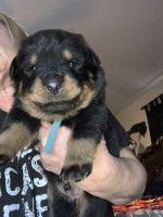 Rottweiler Puppies for sale in Lancaster, CA, USA. price: NA