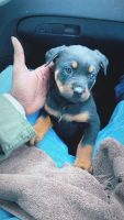 Rottweiler Puppies for sale in Benton, AR, USA. price: NA