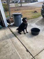 Rottweiler Puppies for sale in Charleston, SC, USA. price: NA