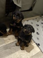 Rottweiler Puppies for sale in Cannon Falls, MN 55009, USA. price: NA