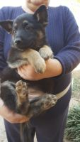 Rottweiler Puppies for sale in Anderson, SC, USA. price: NA