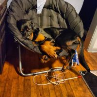 Rottweiler Puppies for sale in Jacksonville, FL, USA. price: NA