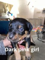 Rottweiler Puppies for sale in Green Cove Springs, FL 32043, USA. price: NA
