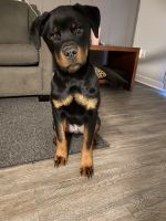 Rottweiler Puppies for sale in Indianapolis, IN, USA. price: NA
