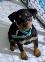 Rottweiler Puppies for sale in Kankakee, IL, USA. price: NA
