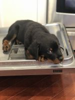 Rottweiler Puppies for sale in Northbrook, IL 60062, USA. price: NA