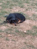 Rottweiler Puppies for sale in Albemarle, NC, USA. price: NA
