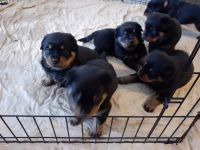 Rottweiler Puppies for sale in Tarrant County, TX, USA. price: NA