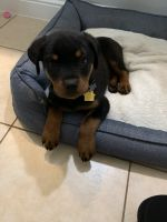 Rottweiler Puppies for sale in Cypress, TX, USA. price: NA