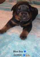 Rottweiler Puppies for sale in Deptford Township, NJ, USA. price: NA