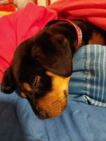 Rottweiler Puppies for sale in Phoenix, AZ, USA. price: NA