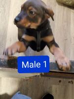 Rottweiler Puppies for sale in Monroe, WA, USA. price: NA