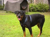 Rottweiler Puppies for sale in Central, LA, USA. price: NA
