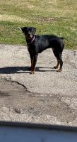 Rottweiler Puppies for sale in Broadview Heights, OH 44147, USA. price: NA
