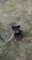 Rottweiler Puppies for sale in Waynesboro, PA 17268, USA. price: NA