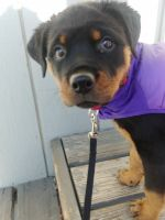 Rottweiler Puppies for sale in Anchorage, AK, USA. price: NA