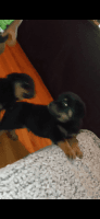 Rottweiler Puppies for sale in Tampa, FL 33612, USA. price: NA