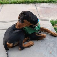 Rottweiler Puppies for sale in Santee, CA, USA. price: NA