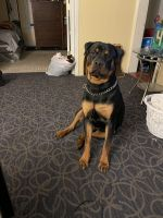 Rottweiler Puppies for sale in Akron, OH, USA. price: NA