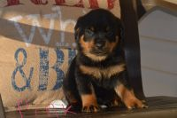 Rottweiler Puppies for sale in Canute, OK 73626, USA. price: NA